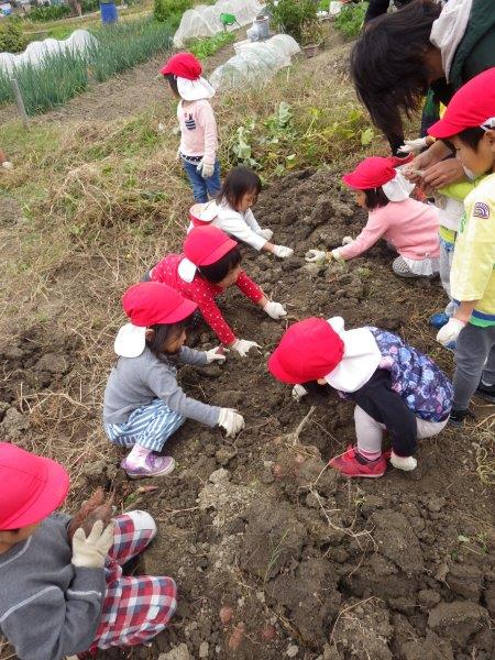 芋ほり☆園内の菜園で育てたさつまいもに加え、今年は地域の畑でもお芋堀をさせてもらい ました。地域の方の温かさと自然の恵みに感謝です。