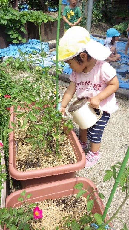 「菜園」大きい子の水やりをする姿をみて小さい子も水やりをしています。食べるものを自分で育てる経験は、食べることの大切さありがたさを感じることができます。