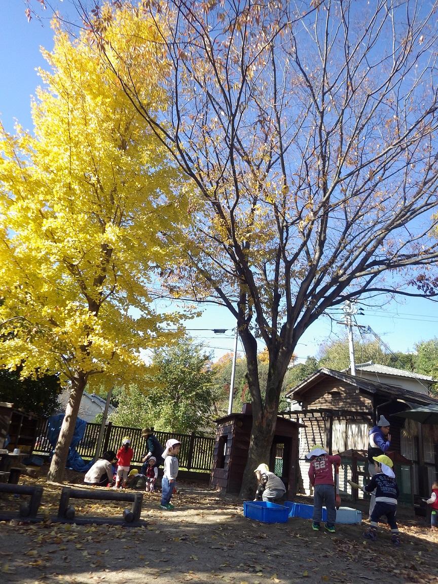 「戸外あそび」紅葉の美しい季節!イチョウの葉っぱをおままごとに使ったり、束ねて「おはな!」と集めてあそんだりしています。風が吹いて落ち葉が散ると、「わぁ~!」と嬉しそうな子どもたちです。