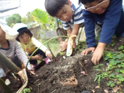 収穫祭「そらぐみが育てた里芋をほりました!大きくなってるかな~(4歳児)」