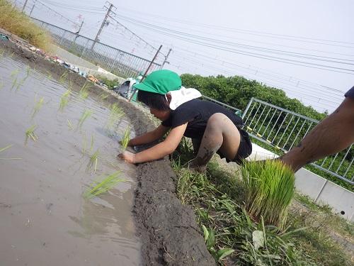 田植えもさせてもらいました。大切に、丁寧にお米を植えていましたよ。立派なお米ができますように。