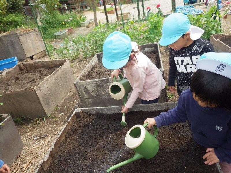 以上児(3・4・5歳児)「そらぐみ(4歳児)は里芋作りを植えました。     大きくなってね。」