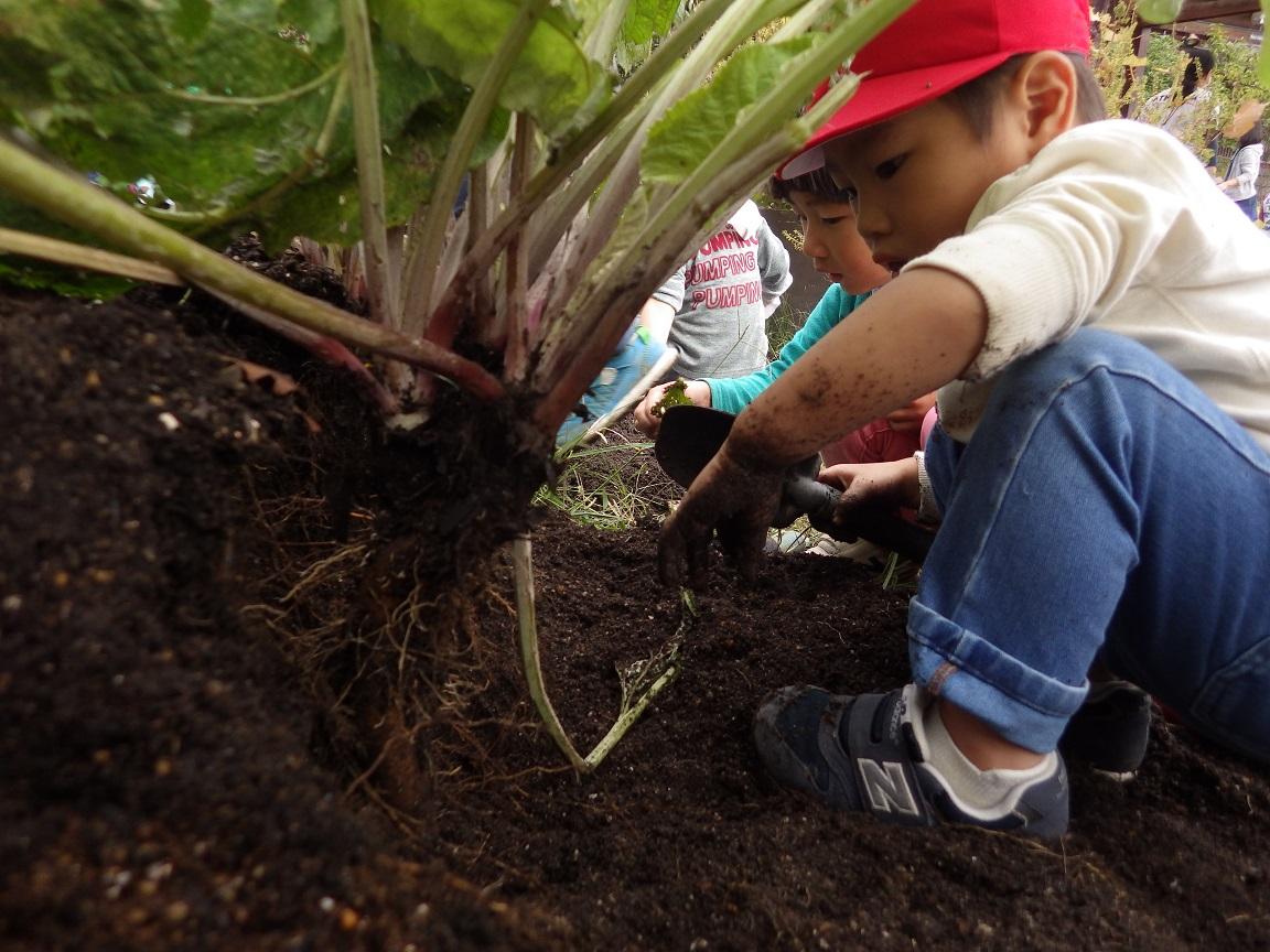 「菜園活動」かぜぐみ(3歳児)は育てていたごぼうを収穫。立派に育ったごぼうは収穫祭で 大鍋に入れてみんなでいただきました。
