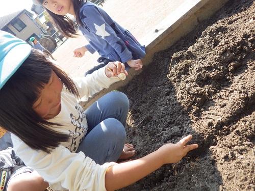 麦畑づくり「穴を掘って麦を1粒ずつ植えました。大きく育ってね☆(4歳児)」