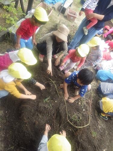 食との触れ合い「5月に植えたさつま芋を手で使ってよいしょよいしょと掘り起こしました!(2歳児)」