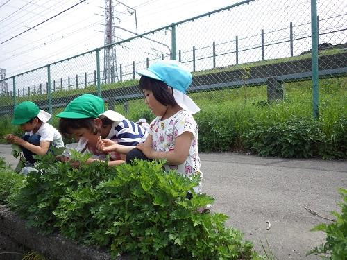やま・そら組(5・4歳児)でヨモギ摘みに行きました。