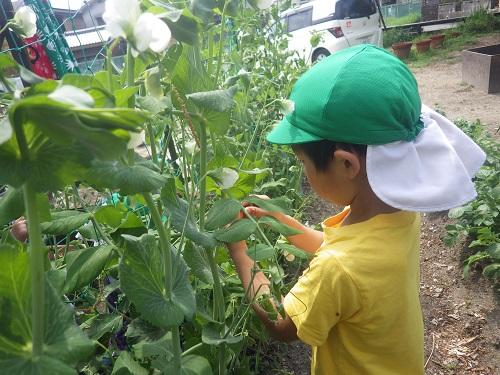 立派に育ったスナップエンドウを収穫しましたよ。 今年は豊作です!