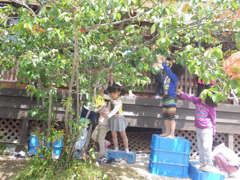 以上児(3・4・5歳児)「グランドのさくらんぼの木に、今年もたくさん実がなりました。取ってはぱくぱく食べる子どもたちでした。」