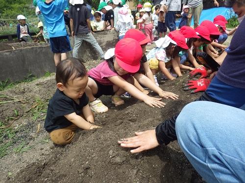 サツマイモ植え☆畑で植えているとうさぎぐみが一緒にやってきてサツマイモ植えのまねっこ♪