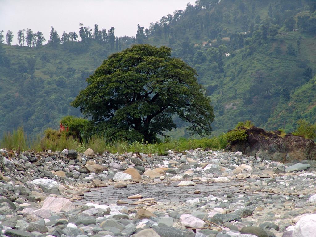 Haidakhan, dieser Baum lebt in der Mitte des Gautama Ganga