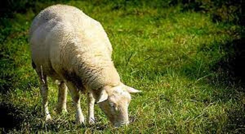 La Pecora Va nell'Orto. Lui Denuncia. Il Fratello Va a Casa e Spacca Tutto
