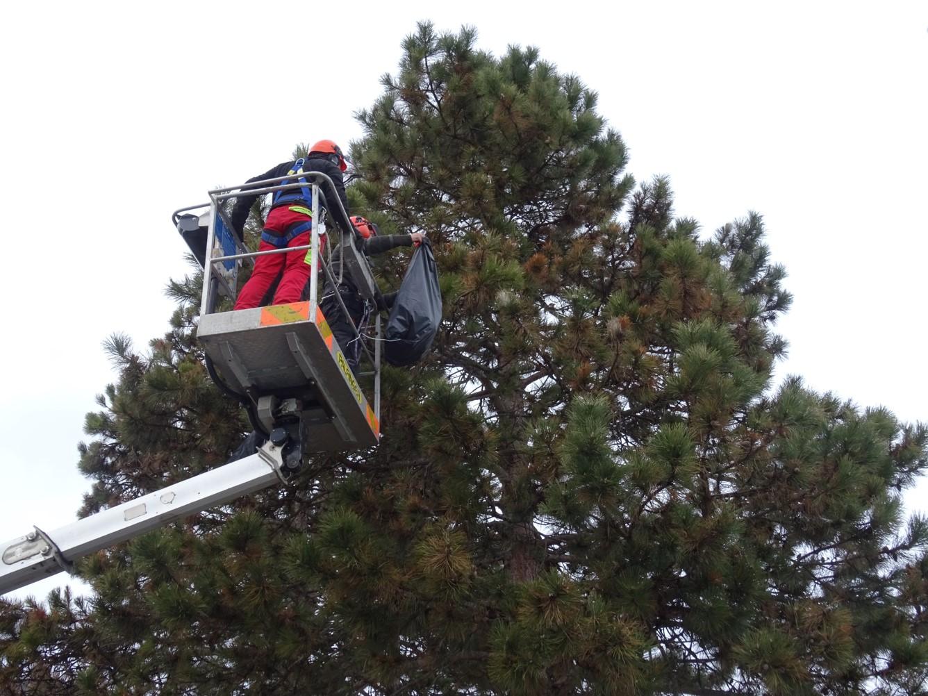 Elimination manuelle de nids processionnaires