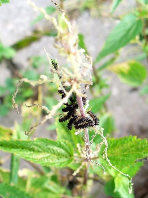Araschnia levana. - 10.09.2011 - U. Kunick