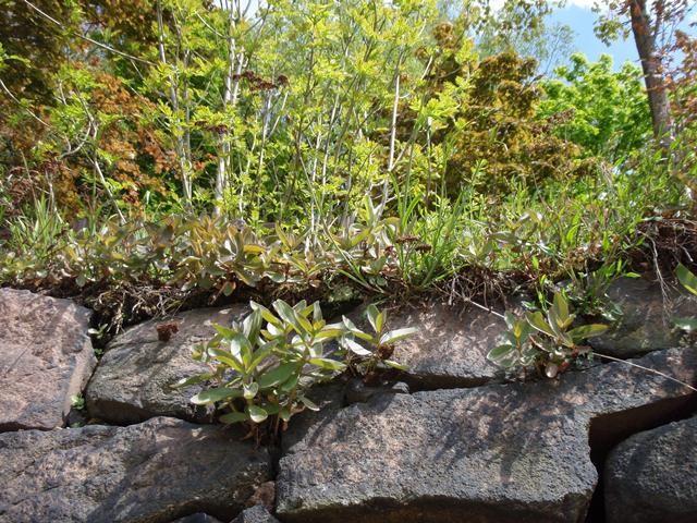 Besonnte Bestände der Raupennahrungspflanze als Eiablageplatz von S. orion. - Mittweida, Liebenhainer Mühle 07.05.2008 - S. Pollrich