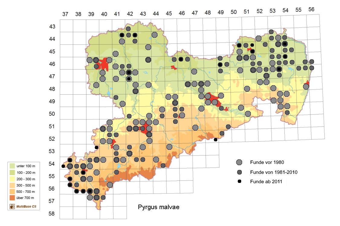 Kleiner Würfel-Dickkopffalter, Pyrgus malvae, in Sachsen, Tagfalter Pollrich