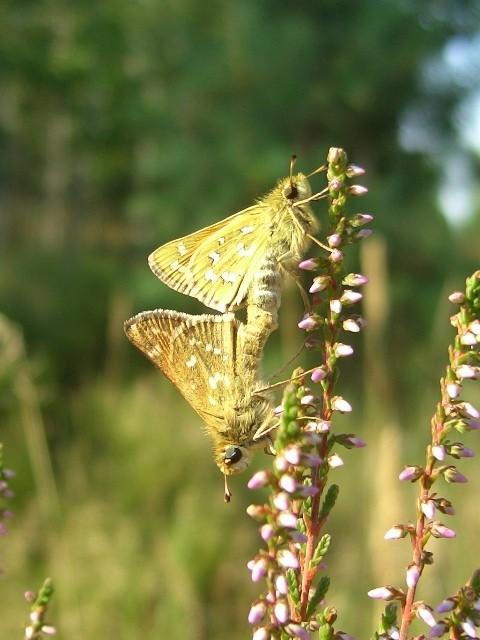 Kopula von Hesperia comma. - Oranienbaumer Heide (ST) 17.08.2006 - S. Pollrich