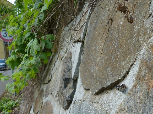 Den Falter trifft man oft beim Sonnenbaden auf aufgewärmten Steinflächen an. - Mittweida, Liebenhainer Mühle 18.05.2013 - S. Pollrich