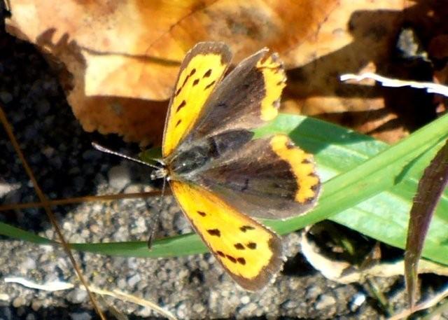 Lycaena phlaeas. - 01.10.2010 - U. Kunick