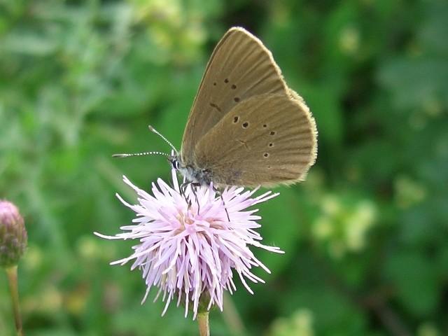 Phengaris nausithous an Cirsium arvense saugend. - Biesern 05.08.2005 - S. Pollrich