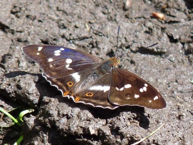 Apatura iris. - Lärchenberg Schirgiswalde, Nordostseite, Weg am Waldbeginn 24.06.2012 - K. Thomas