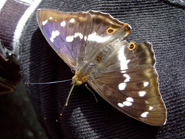 Apatura iris. - Eibenstock, Vorbecken Rämerbach/ Talsperre Eibenstock 01.07.2007 - F. Herrmann