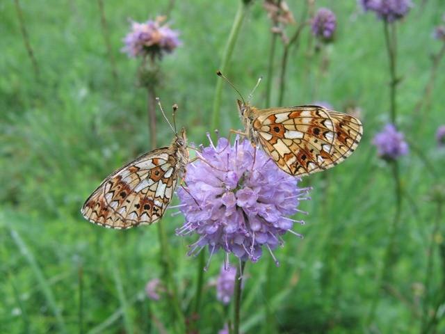Boloria selene. - Dübener Heide 18.08.2010 - P. Weisbach