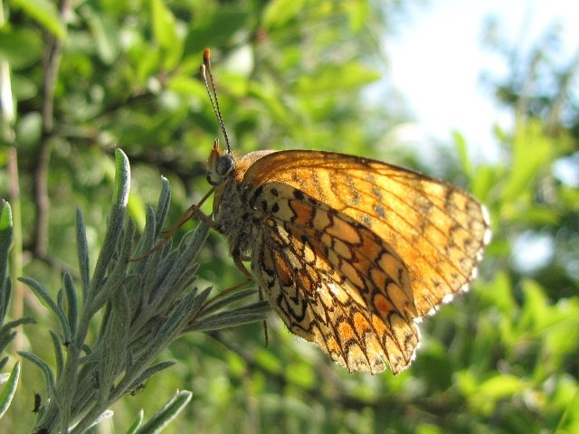 Melitaea phoebe. - Halbinsel Thihany/Balaton (Ungarn) 17. Mai 2011 - F. Herrmann