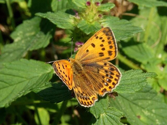 Weibchen von Lycaena virgaureae. - Kühnhaide 08.08.2010 - M. Eigner