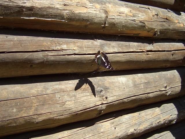 Apatura iris. - Geringswalde, Schönburger Wald 04.07.2005 - S. Pollrich