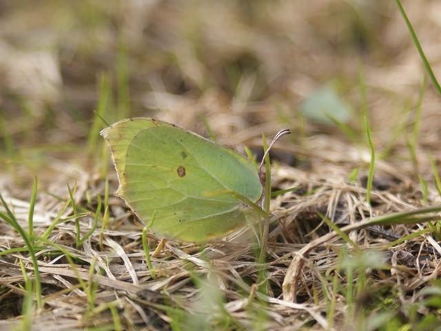 Gonepteryx rhamni. - 14.03.2009 - M. Eigner