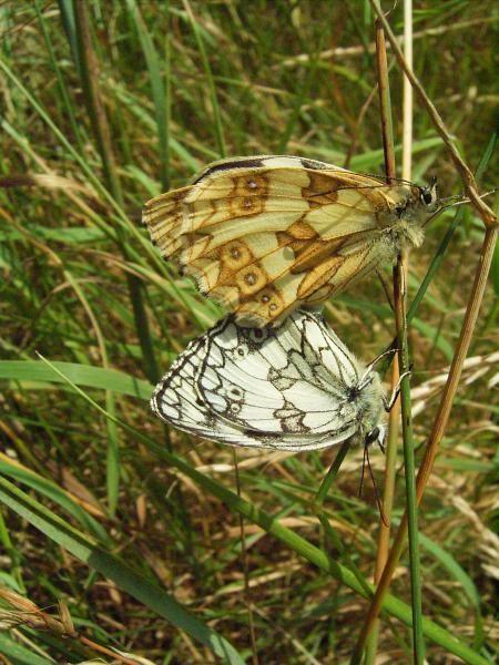 Melanargia galathea bei der Paarung. - Bienitz, Südhang, Sandweg 22.06.2007 - D. Wagler