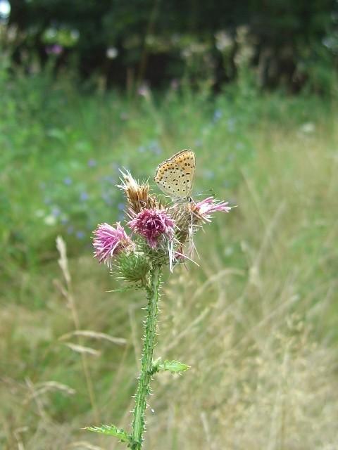Lycaena tityrus (Brauner Feuerfalter). - Niederstriegis 04.08.2006 - St. Pollrich