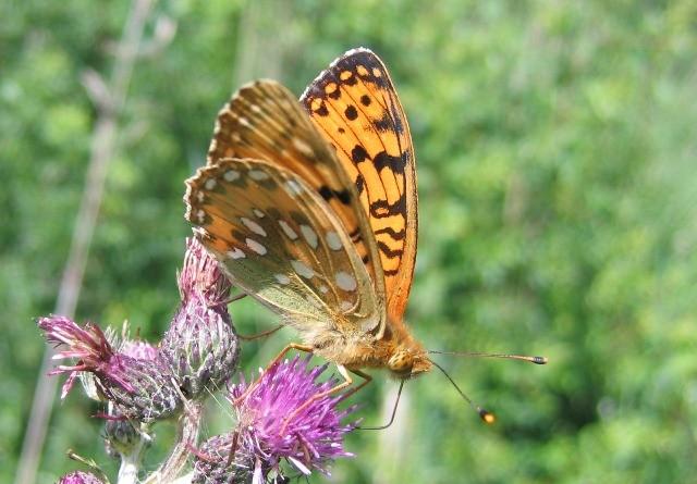 Argynnis aglaja. - Dübener Heide 23.06.2012 - P. Weisbach