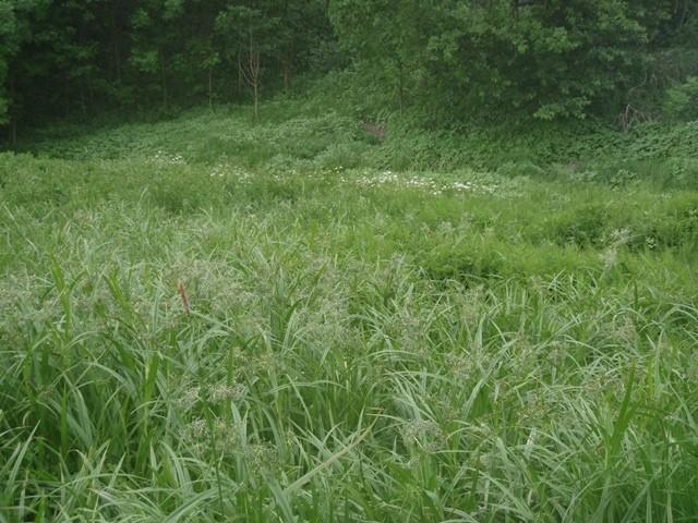 Auf dieser Feuchtwiese wurde an Wald-Simse die Puppe von Brenthis ino gefunden. - Berbersdorf 24.05.2011 - S. Pollrich