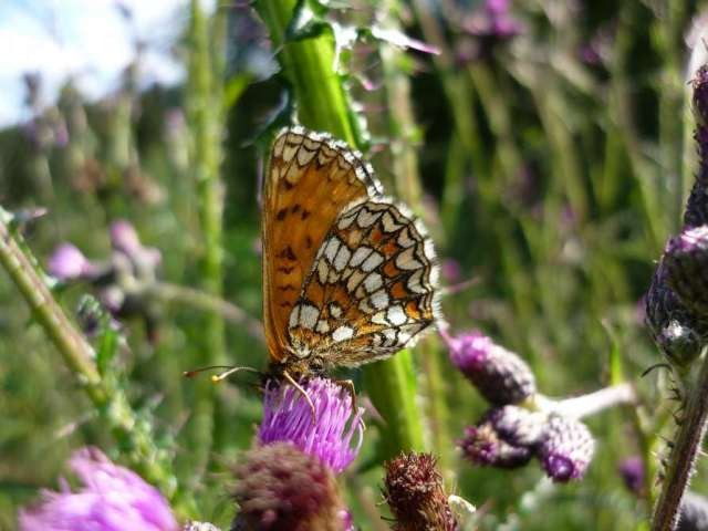 Melitaea athalia. - 16.07.2009 - F. Einenkel