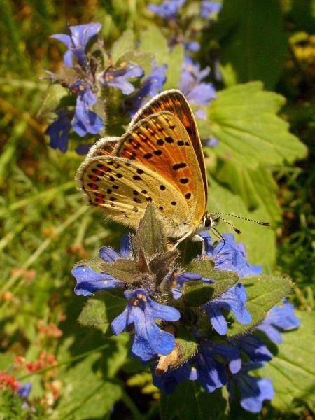 Lycaena tityrus an Heide-Günsel. - Dübener Heide, Laußig 01.06.2009 - D. Wagler
