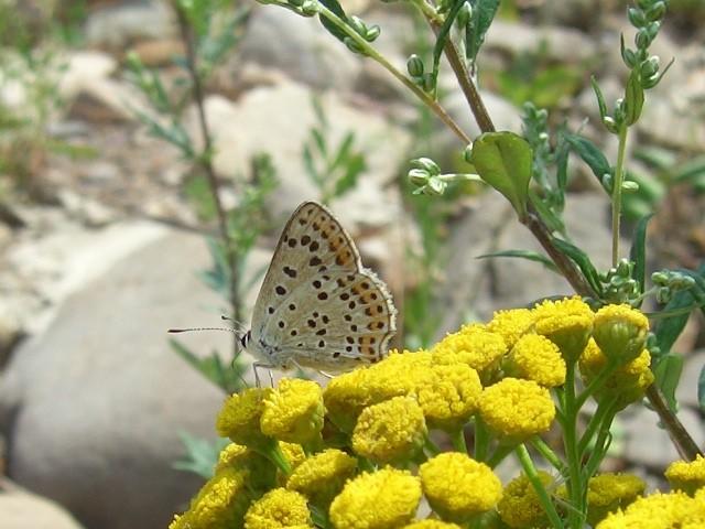 Lycaena tityrus an Rainfarn saugend. - Kleinlimritz 30.07.2006 - St. Pollrich