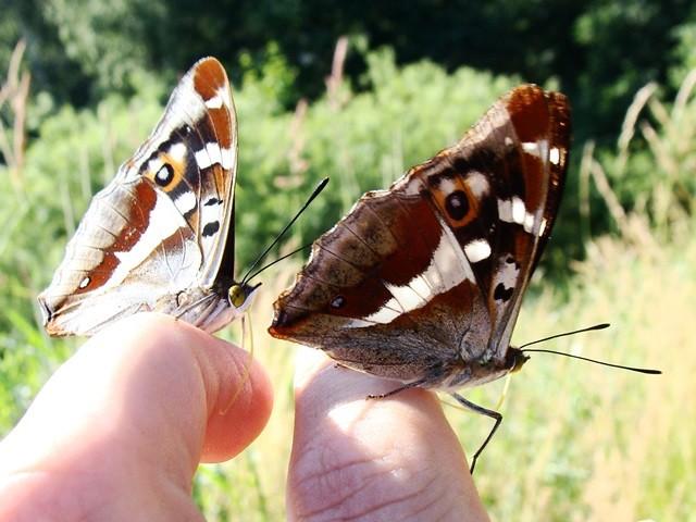 Apatura iris. - Frankenberg, Feldweg am Bundeswehrgebiet Altenhain 22.06.2008 - F. Herrmann