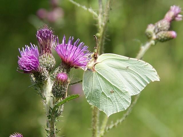 Gonepteryx rhamni (Weibchen). - Chemnitz, Erlensumpf 13.07.2012 - M. Eigner