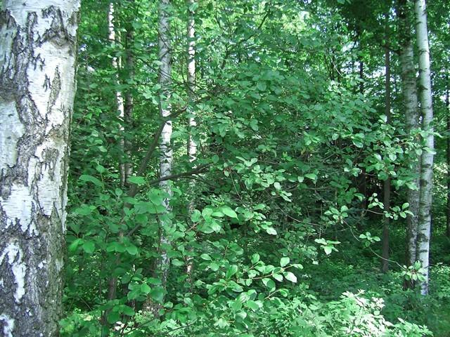 Schattig stehender Faulbaum als Eiablageplatz für den Faulbaumbläuling (C. argiolus). - Crossen 13.07.2005 - S. Pollrich