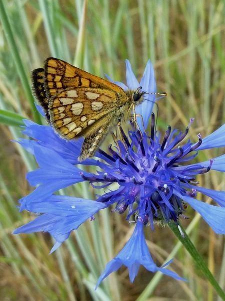Der Gelbwürfelige Dickkopffalter an Kornblume. - Kossa, Schneise im Kiefernwald 23.05.2012 - D. Wagler
