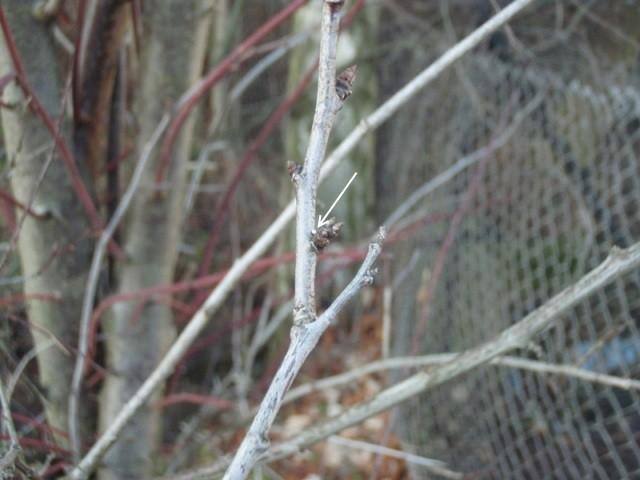 Ei von Thecla betulae an Zwetschge (Prunus domestica). - Erlau, Gartengrundstück 16.01.2011 - S. Pollrich