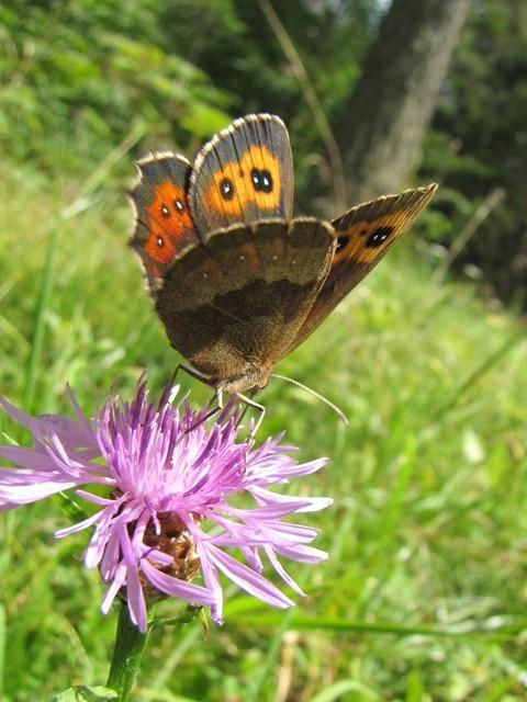 Erebia aethiops. - Österreich, Tirol, St. Ullrich am Pillersee 12.08.2011 - F. Herrmann