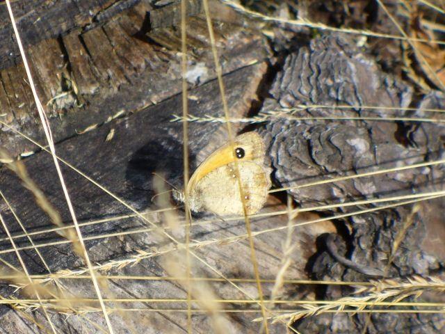Pyronia tithonus. - Hoyerswerda, Kühnichter Heide 01.08.2010 - U. Kunick