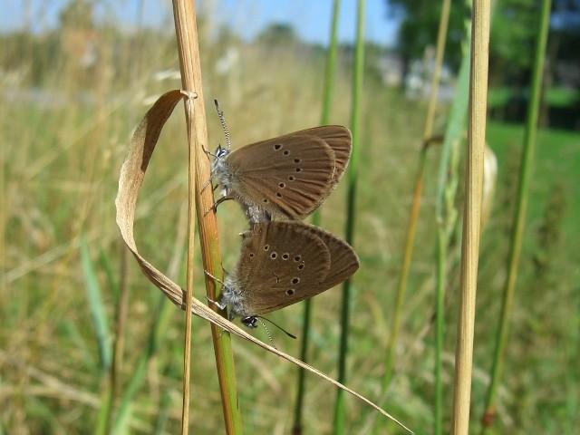 Kopula von Phengaris nausithous. - Biesern 18.07.2005 - S. Pollrich