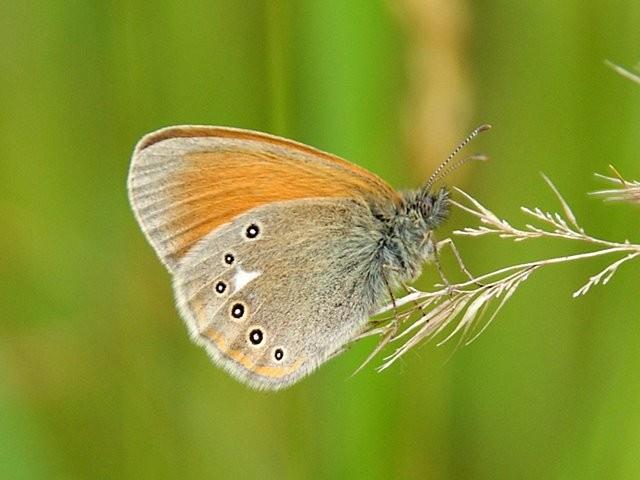 Coenonympha glycerion. - Dauban 20.06.2010 - M. Eigner