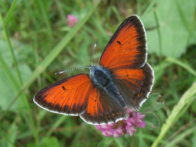 Männchen von Lycaena hippothoe. - Grumbach (Erzgebirgskreis) 08.06.2011 - R. Klemm