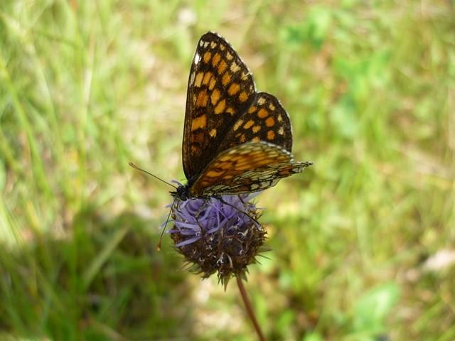 Melitaea athalia. - 10.07.2011 - F. Einenkel