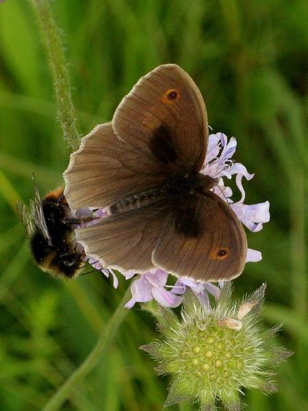 Maniola jurtina an Acker-Witwenblume. - Oberholz, äußere Orchideenwiese 17.06.2009 - D. Wagler
