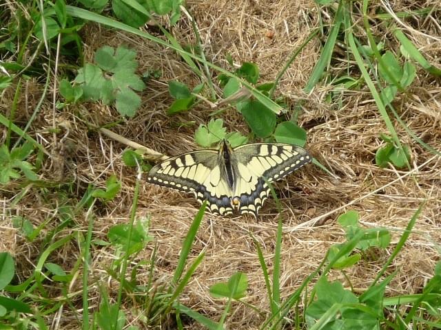 Papilio machaon. - Fichtelberg 02.08.2012 - F. Einenkel